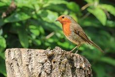 Robin s'est reposé sur un rondin Images libres de droits
