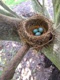 Robin& x27; s gniazdeczko z 3 jajkami w naturalnym świetle fotografia stock