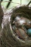 Robin's Nest Stock Image