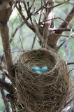 Robin's Nest. Stock photo of a red breasted robin's nest Stock Photos