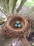 Robin& x27;s nest with eggs in natural light. royalty free stock photography