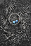 Robin`s nest on ground with twigs. Robin`s bird nest in black and white on ground with spiral pattern of twigs and blue eggs Stock Photos