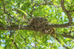 Robin's Nest Royalty Free Stock Photo