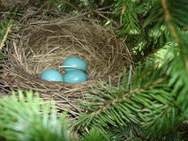 Robin's nest with three blue eggs Royalty Free Stock Photos