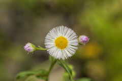 Robin's Plantain Wildflowers - Erigeron Pulchellus Royalty Free Stock Photography