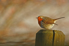 Robin's post. Robin upon a post, with space to the left Royalty Free Stock Photos