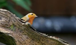 Robin sat on branch Stock Photography