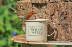Robin sat on cup Stock Photo