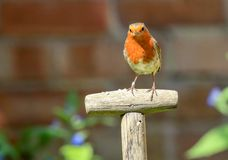 Robin sat on a garden spade handle stock images