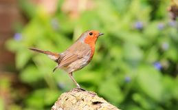 Robin sat on log royalty free stock images