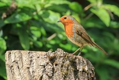 Robin sat on a log Royalty Free Stock Images