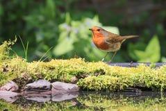 Robin sat on moss stock photos