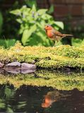 Robin sat on moss royalty free stock photography