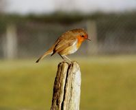 Robin se reposant Images stock