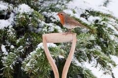 Robin si è appollaiato lateralmente sulla maniglia della vanga Immagine Stock