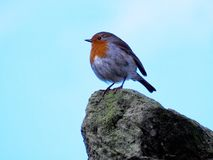 Robin si è appollaiato su una roccia Fotografia Stock