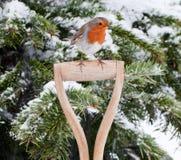 Robin si è appollaiato sulla maniglia di legno della vanga Fotografia Stock