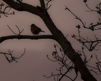 Robin silhouette Royalty Free Stock Photography