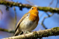 Robin Singing on Branch Royalty Free Stock Image