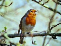 Robin Singing en un árbol foto de archivo