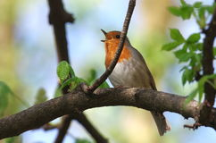 Robin singing Royalty Free Stock Photography