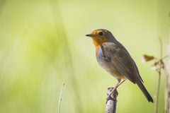 Robin singing Stock Images