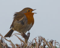 Robin singing on a frosty day. (Erithacus rubecula) Stock Photography