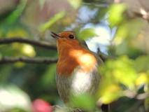 Robin Singing Royalty Free Stock Images