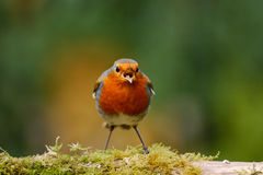 Robin singing on a mossy log Stock Photography