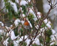 Robin singing. Royalty Free Stock Images