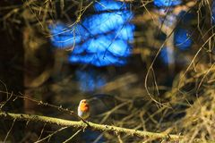 Robin singing from a tree branch Royalty Free Stock Photography