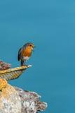 Robin singing Royalty Free Stock Photo