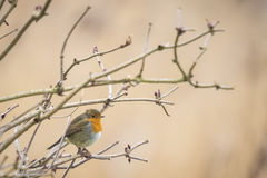 Robin singing in winter Stock Photos