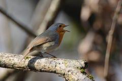 Singing Stock Image