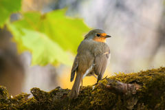 Robin sits in a Park Royalty Free Stock Photos