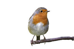 Robin sits in a Park. In a tree Royalty Free Stock Photography