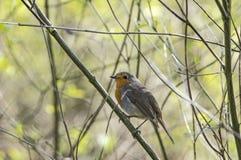 Robin sittiing on a twig Stock Photos