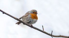 Robin is sitting on a branch Royalty Free Stock Photo