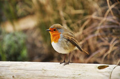 A robin Stock Images