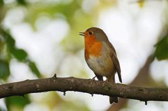 Robin sitting on the branch Stock Photography