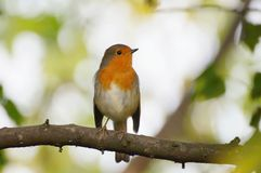 Robin sitting on the branch Stock Photo