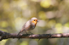 Robin sitting on a branch in the spring and sings a song. The bird is a Robin sitting on a branch in the spring and sings a song Stock Photos