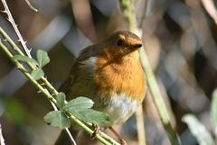 Robin sitting on a branch of a tree. Robin Redbreast British Birds. Outdoors theme, wild animals, wildlife in UK - garden and park, forest, coloured feathered Stock Photos