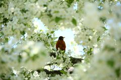 Robin in white blossom tree. Robin sitting on the branch of a tree with white blossoms, framed by the blooms and isolated by selective focus Stock Photos