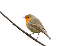 Robin sitting on a branch on white isolated background