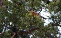 Robin Sitting en árbol Fotografía de archivo libre de regalías