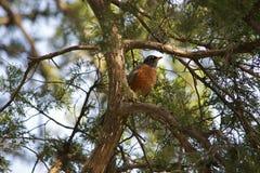 Robin Sitting en rama de árbol Fotos de archivo