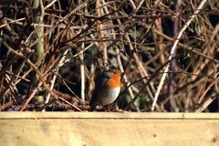Robin sitting on a fence royalty free stock photography