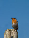 Robin sitting on fence post Royalty Free Stock Photos