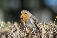 Robin sitting on a hedge Royalty Free Stock Photos